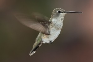 15 hummingbird