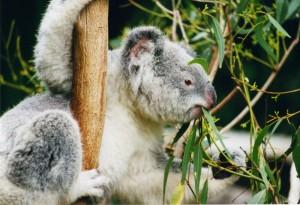 9 Koala