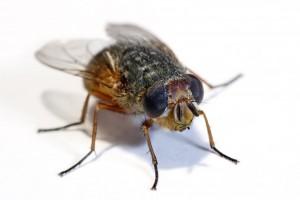 animal housefly 1