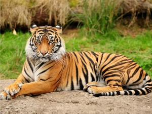 tiger 4 b
