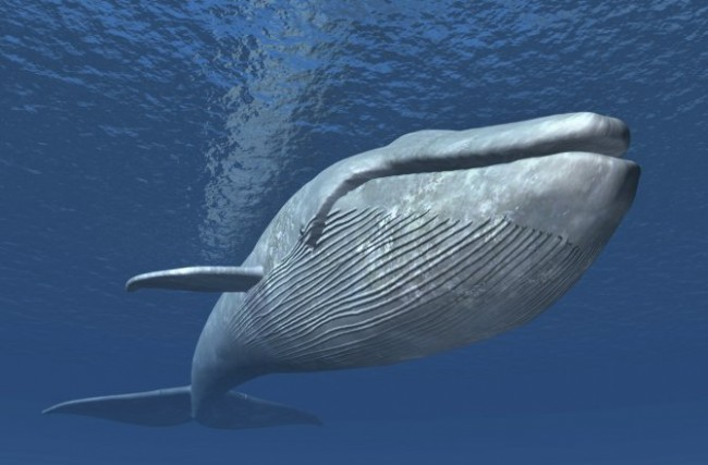 Photo source: http://news.discovery.com/animals/whales-dolphins/blue-whales-not-equipped-to-avoid-ships-study-150505.htm