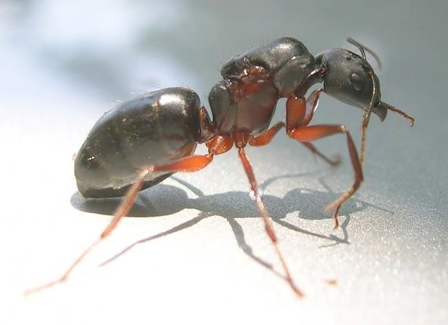 Camponotus_queen