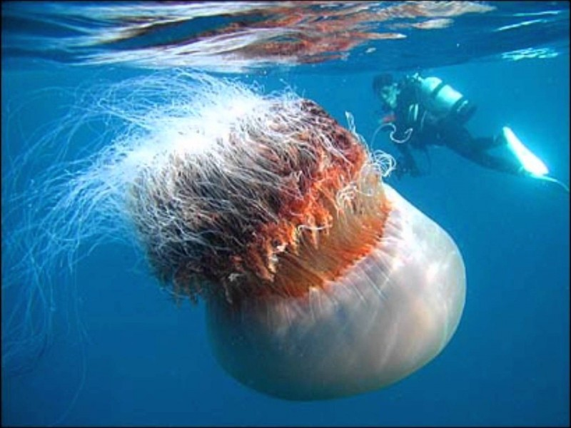 Photo source: http://io9.com/5879367/this-photo-of-the-super-jellyfish-its-a-lie