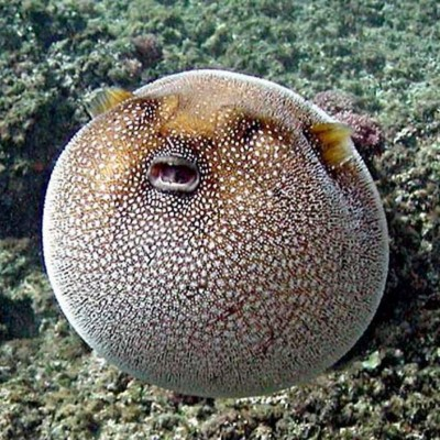 Pufferfish archives discover informationdiscover information for How much is a puffer fish
